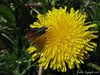 Dandelion and a moth (G9 macro)