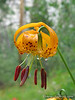 5) Leopard Lily