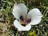 2)  Mariposa Lily