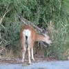 Deer by the road