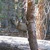 Two headed deer  ;-)