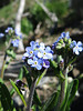 Blue Forget-me-not, Stickseed or Hackelia