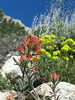 Indian Paintbrush and Sulfer Flower