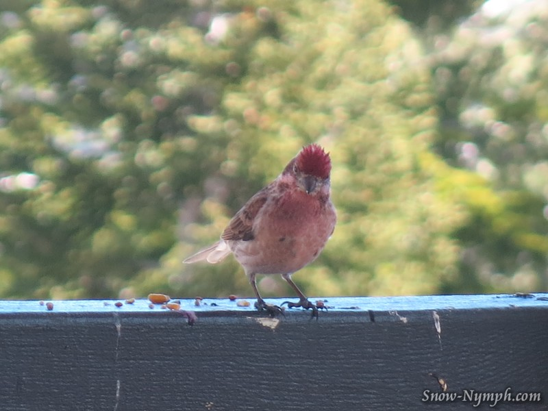 Purple Finch on our deck (taken thru the window)