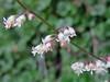 Heuchera rubescens var. alpicola; Pink Alumroot