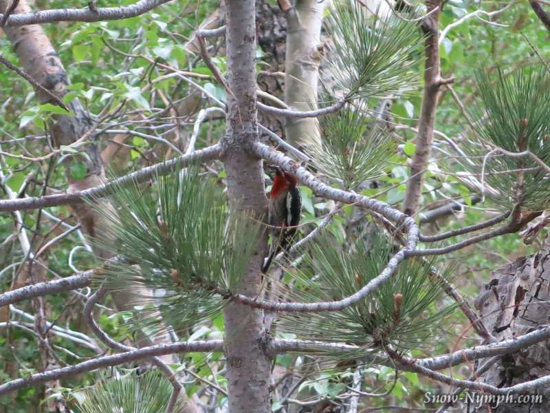June 11, 2016  ID?  Red Breasted Sap Sucker