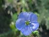 June 21, 2016    `Blue Flax