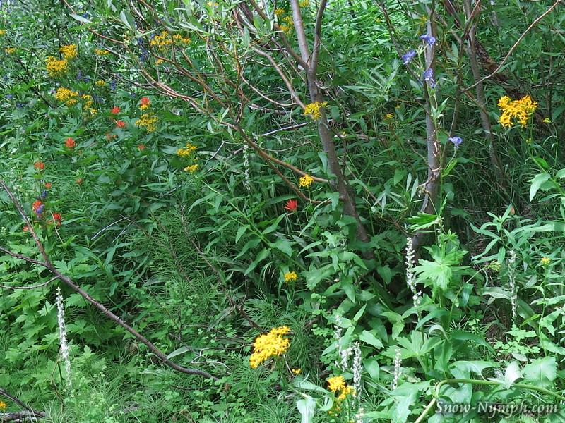 White Bog Orchids, Paintbrush, Monkshood, Groundsel