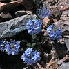 Polemonium - seems like flowers don't get big here