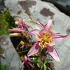Dark Pink Alpine Columbine
