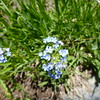 Stickseed