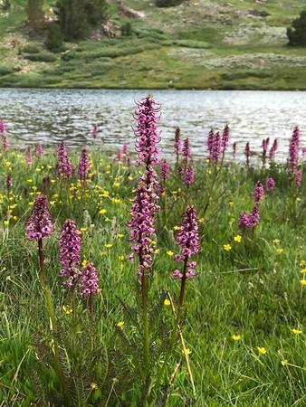 2017-08-16  Gardisky Lake Wildflowers (skunked again)