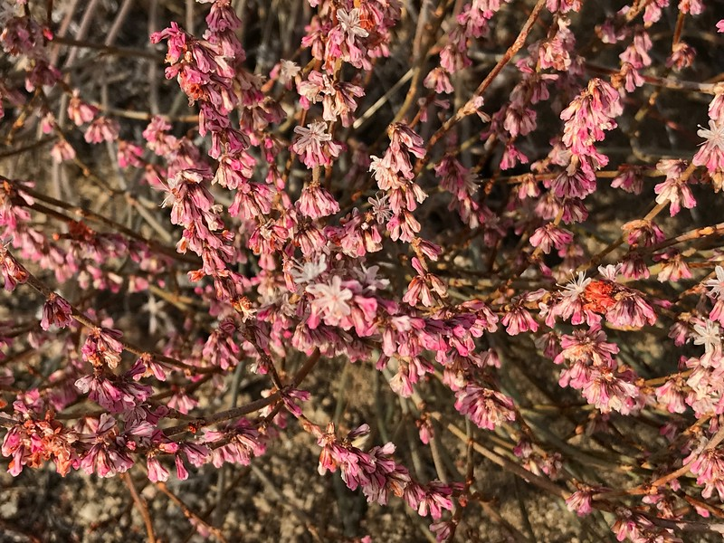 Pink buckwheat?