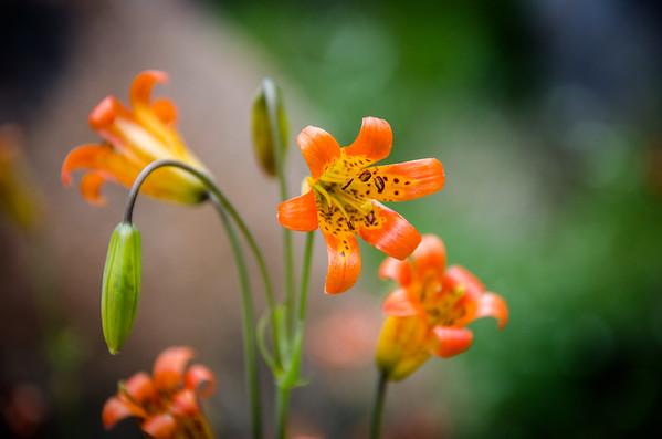 california; emigrant wilderness; flowers; sierra nevada; stanislaus national forest Gorgeous alpine lilies.