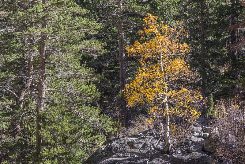 Lundy Lone Aspen