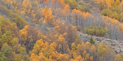 Aspen Above Grant Lake