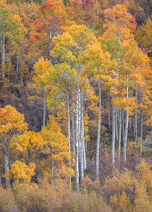 Aspen and Willows, Bishop Canyon
