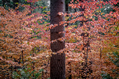 Autumn Dogwoods