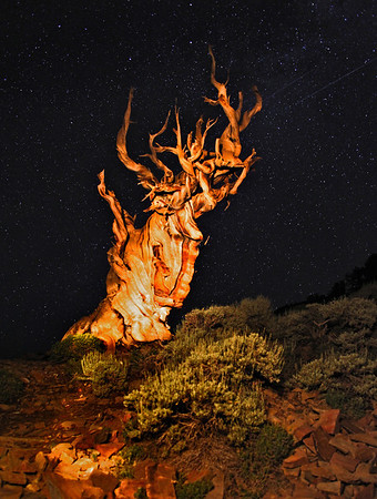Bristlecone Pine, Night Sky