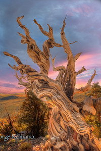 Bristlecone Pine at Sunset.