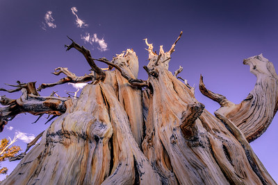 Built for the Ages (Ancient Bristlecone Pine)