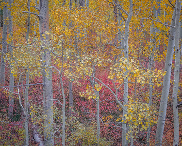 Aspen and Colorful Undergrowth, Lee Vining Canyon