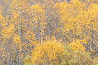 Aspen and Willows, Rush Creek