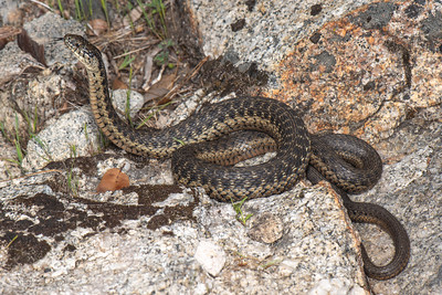Sierra Gartersnake, Thamnophis couchii