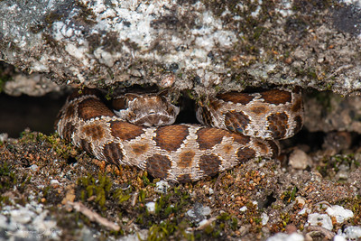 Young of the year Northern Pacific Rattlesnake