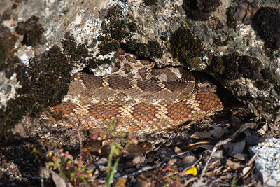 Northern Pacific Rattlesnakes showing a variety of colors