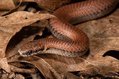 Sharp-tailed Snake, Contia tenuis
