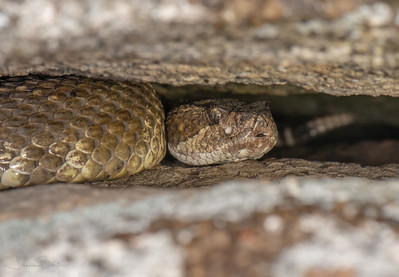 Large adult Northern Pacific Rattlesnake in her den, with a smaller one behind