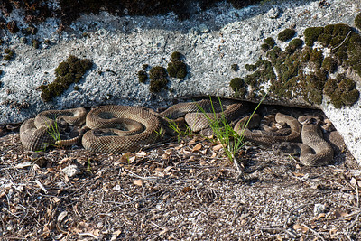 Northern Pacific Rattlesnakes sunning at their den