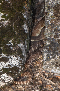 Northern Pacific Rattlesnakes
