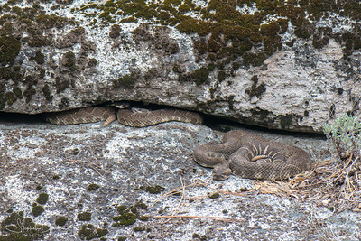 Den Three, day 2: three adult Northern Pacific Rattlesnakes out basking