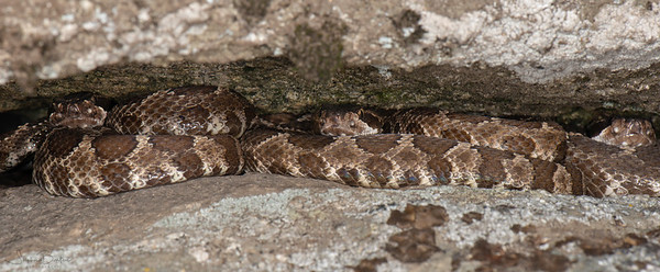 Three Northern Pacific Rattlesnakes in their den