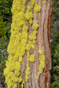 Furry lichens on the trunk of a cedar tree