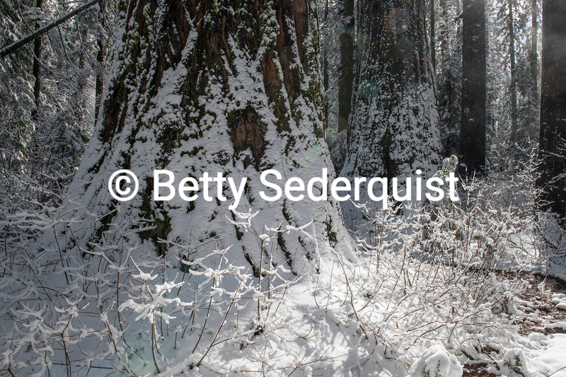 Sequoia Forest in the Snow