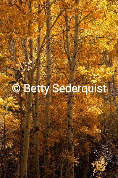 Fall Aspens, Hope Valley