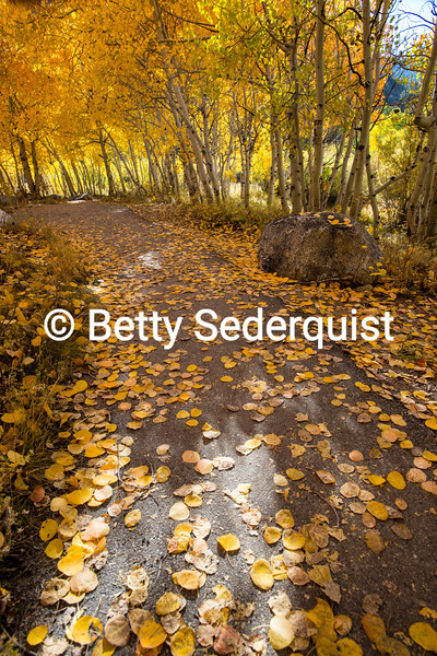 Aspen Pathway, Autumn, Bishop Creek Area