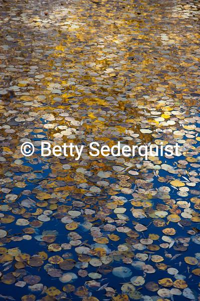 Aspen Leaves on Pond