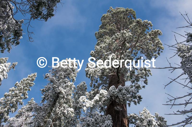 "Giant ""Christmas Trees"""