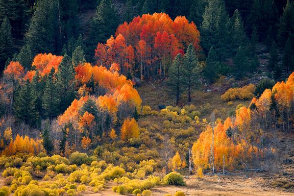Aspens and Rabbit Brush, Hope Valley