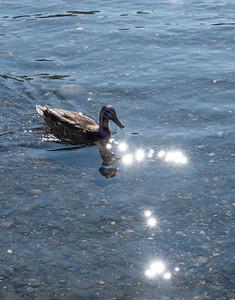Female Mallard and Sparkling Water, Silver Lake, June Lake Loop
