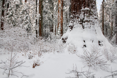 Fresh Snow and Giant Sequoia