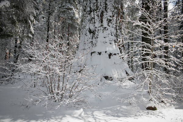Fresh snow on a Giant Tree