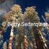 Calaveras Big Trees Sequoias