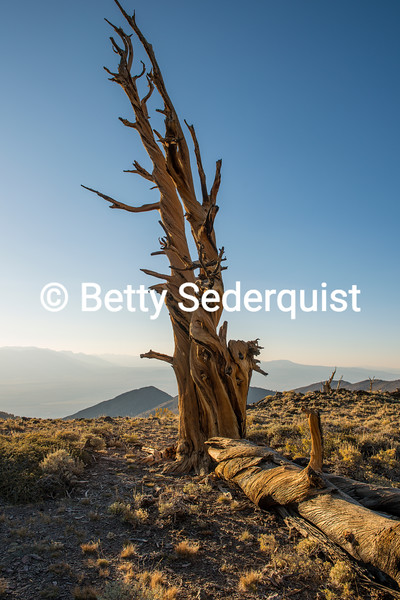 Bristlecone with a View