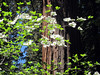 A winning combo--dogwoods and giant sequoias