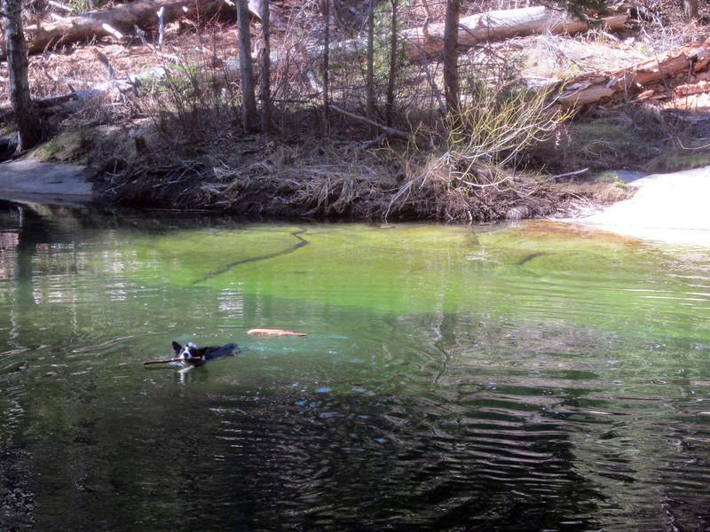 Willow Creek -- Star swimming for sticks